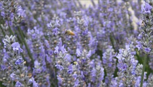 Bees pollinating the lavender